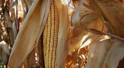 Food price surge fuels biofuel critics