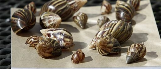 USDA goes on a giant snail hunt