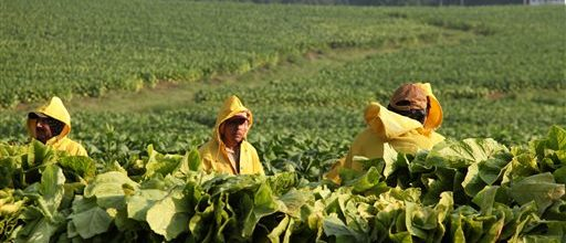 Times getting tougher for tobacco growers
